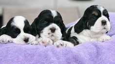Parti Cocker Spaniels are the best. Who wouldn't want one in their home.
