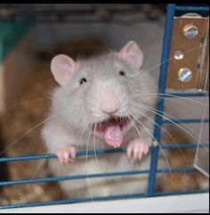 This is a dumbo rat. If I didn't have two cats and a dog, this little guy would be mine. He's adorable!