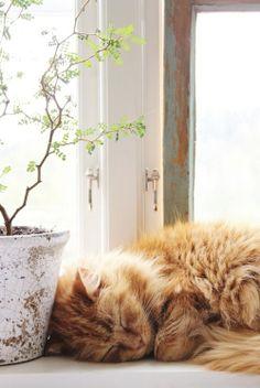 Sleeping ginger kitty