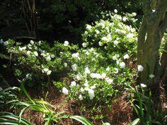 Rhododendron Hardy Gardenia