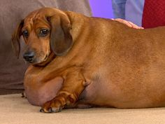 Obie the obese dog works toward weight loss    Video: http://on.today.com/QRvMHH
