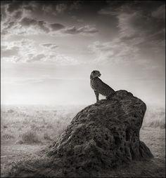 Cheetah on Termite Mound, Masai Mara 2008 Nick Brandt