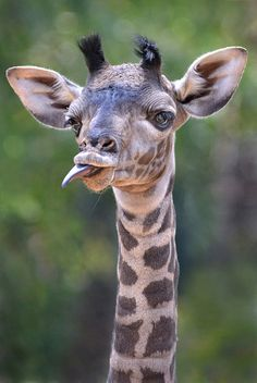 Sass alert! The San Diego Zoo's newest giraffe is not impressed. (photo: Ion Moe)