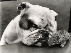Face à face Bulldog Anglais et... un petit animal que je ne connais pas :).  Isabelle http://entre-chien-et-nous.fr