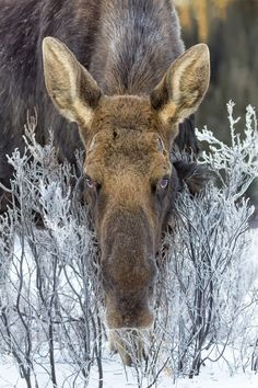 Moose, Alberta. That is one scary stare! She looks like she is not happy at all!!!