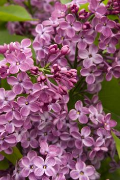 This outstanding cultivar from the U. National Arboretum has large, dramatic clusters of deep reddish-purple, fragrant flowers and blooms 7 to 10 days earlier than common lilacs. Useful as a flowering informal screen, background shrub or specimen. Light Pink Flowers, Purple Flowers, White Flowers, Tall Shrubs, Evergreen Vines, Monrovia Plants, Lilac Bushes, Plant Catalogs, Climbing Vines