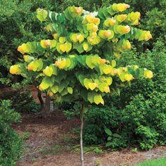 Arborvitae thuja evergreen 39 polar gold 39 trees i needs for Spring hill nursery garden designs