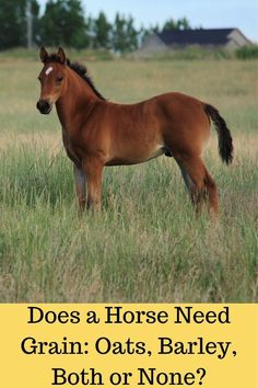 Feeding grain to your horse. The pros and cons.#oats,#barley,#grain,#horse