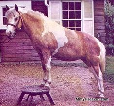 "Remember the book ""Misty of Chincoteague""?  Here is the real Misty."