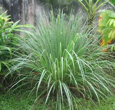 When purchasing a citronella plant for mosquito control, you must buy Cybopogon nardus or Citronella winterianus