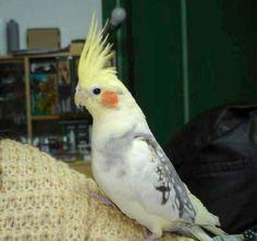 Su buen comportamiento, el bonito color de su plumaje y su capacidad de adaptación son algunas de las virtudes de estas pequeñas y simpáticas aves. Hoy toca hablar de las Ninfas, o Carolinas.
