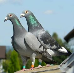 Pet Pigeon, Dove Pigeon, Pigeon Pictures, Animal Pictures, Racing Pigeon Lofts, Homing Pigeons, Faith Bible, Beach Camping, Great Stories