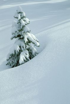 A small spruce tree in fresh, deep snow near Independence Pass and Twin Lakes, CO.
