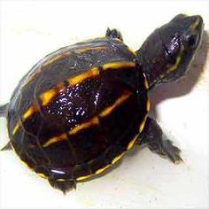Buy baby 3 striped mud turtles for sale online. 3 stripe mud turtle for sale 3 striped mud turtle hatchlings for sale online pet striped mud turtle breeder. Red Footed Tortoise, Baby Tortoise, Tortoise Care, Tortoise Turtle, Baby Turtles For Sale, Baby Sea Turtles, Turtle Store, Types Of Turtles, Freshwater Turtles