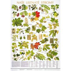 Schéma - naše listnaté stromy - CZ - botanické plakáty - plakáty s rostlinami Leaf Identification, Artist Problems, Forest Plants, Animal Tracks, Forest School, Science And Nature, Trees To Plant, Beautiful Gardens, Flower Power
