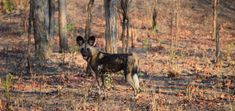 African wild dogs, or 'painted dogs', are an endangered species of wild dog. The primary reason they are endangered is habitat loss from human development