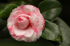 Heirloom 10 Seeds Camellia japonica Japanese camellia Tea Flower Rose of winter Mix T040 (1.99 USD) by seedsshop