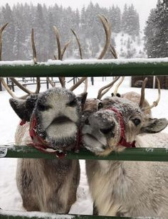 Animals And Pets, Baby Animals, Funny Animals, Cute Animals, Christmas Feeling, Cozy Christmas, Christmas Time, Reindeer Christmas, Christmas Animals