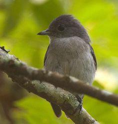 Grey-throated Tit-Flycatcher(Myioparus griseigularis)