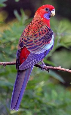 Crimson Rosella - HIS COLOURING IS JUST EXQUISITE!!