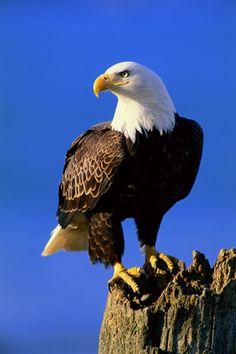The Lookout - Bald Eagle (Thomas Mangelsen)