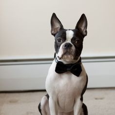 OMG! Love this dog! I want one! Black Faux Fur Dog Bow Tie  Free Shipping by HappyDogClothes, $11.00