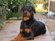 Rottweiler Mix Doberman Puppy