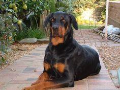 Rotterman a Rottweiler Doberman mix. Best dog ever my