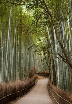 Bamboo groves of Arashiyama in Kyoto, Japan.
