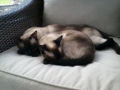 i love siamese cats (: