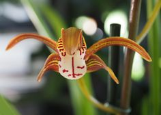 Cymbidium — en enkel orkidé ute og inne Planters, Plant, Window Boxes, Pot Holders, Flower Planters, Pots