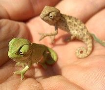 Reptiles can be cute too! These are Dwarf Chameleons!