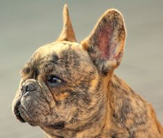 Fleetwood reverse Brindle Frenchie