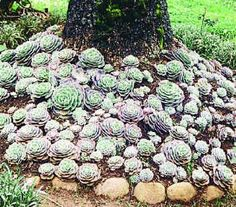 rooster hen and chicks plant | hen and chicks plants grow in clusters like spiky cushions the plant ...