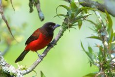 Crimson-backed Tanager - Crimson-backed tanager (Ramphocelus dimidiatus), adult female.  Photo captured in the foothills of the Andean slopes around Barbosa, Colombia.