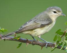 Warbling Vireo | Audubon Field Guide