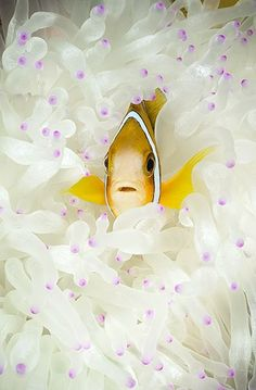 Underwater Photographer Michael Gerken's Gallery: Mike Gerken: Angelic  Lovely photo! We see these anemone fishes at the reefs of the Andaman Sea too!