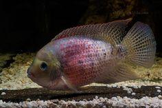 Cryptoheros panamensis Glass Aquarium, Aquarium Ideas, Aquarium Fish, Amphibians, Reptiles, Oscar Fish, Fish Tanks, Tropical Fish, Central America