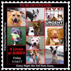 """8 BEAUTIFUL LIVES TO BE DESTROYED 07/14/17 @ NYC ACC **SO MANY GREAT DOGS HAVE BEEN KILLED: Puppies, Throw Away Mamas, Good Family Dogs. This is a HIGH KILL """"CARE CENTER"""" w/ POOR LIVING CONDITIONS. Please Share: To rescue a Death Row Dog, Please read this: http://information.urgentpodr.org/adoption-info-and-list-of-rescues"""