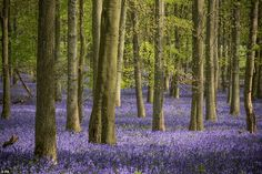 Bluebells surround trees in a forest at Ashridge Estate in Hertfordshire in this stunning . Ireland Pictures, North Somerset, Hiking Routes, 17th Century Art, Colonial Williamsburg, Luxor Egypt, National Trust, Isle Of Wight, East Sussex
