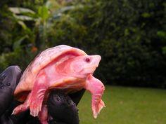 pink albino turtle
