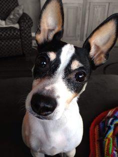 Toy fox terrier Mickey!