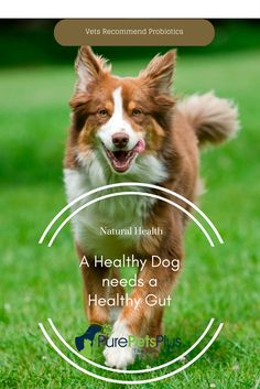 Vets recognise that many health issues could be avoided if your pet had a healthy gut.  Feeding your Dog a good quality Probiotic daily could help them heal and help keep them in tip-top health.  Our Advanced Probiotic has top quality Probiotics as well as added Turmeric (Curcumin) and New Zealand Green Lip Mussel.  All designed to help you keep your best friend happy and healthy. (Oh yes, it's great for Cats too!)