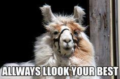Allways-Llook-Your-Best #funny #llama