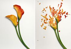 "John Shireman's ""Broken Flowers,"" flowers soaked in liquid nitrogen and then smashed."