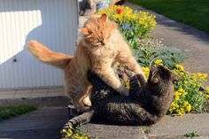 Cat Behavior: How to Stop the Violence of a Cat Fight   Catster