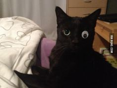My cat was not thrilled with his prosthetic.  OMG this is what I want to do with our one-eyed cat!! I've said it for years! @Amy McCaffery @Rehanna Sharma @Cathy Strobel