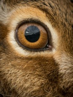Close Up of a Hare's Eye ....