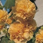 Hollyhock 'Chater's Double Apricot' - 1 packet (30 hollyhock seeds)