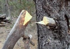Five tips to make a better feather stick for firemaking - #survival #prepper
